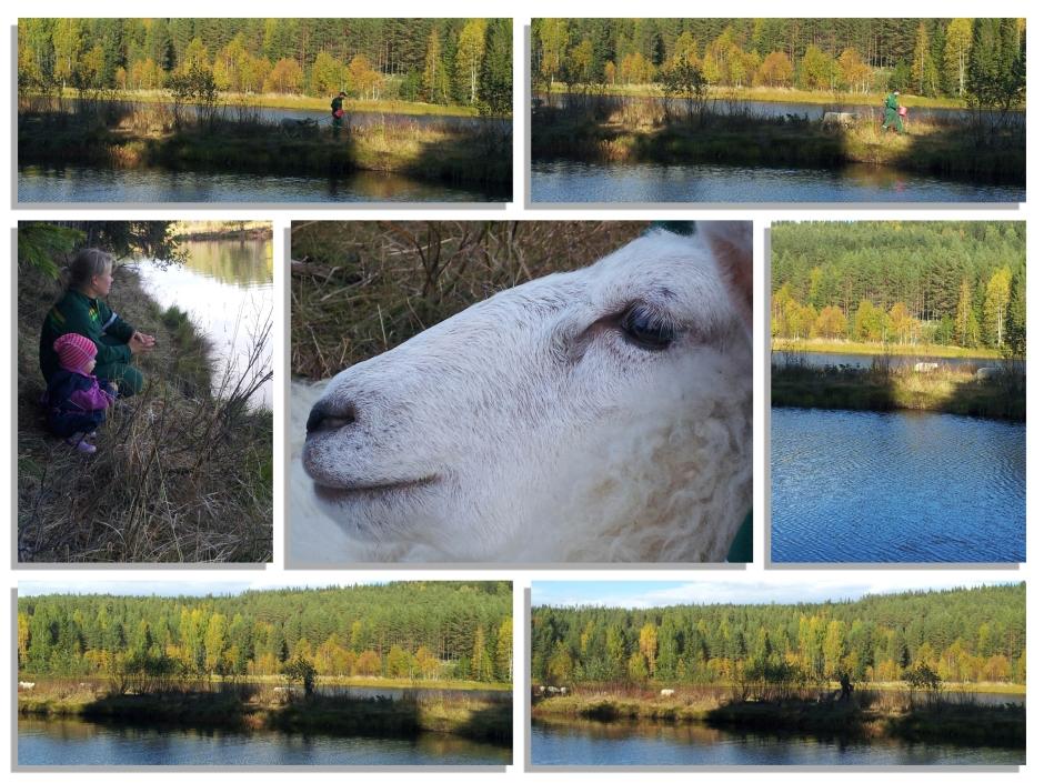 6Schapen overzetten3